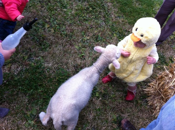 Lamb sniffs Arddun's hand