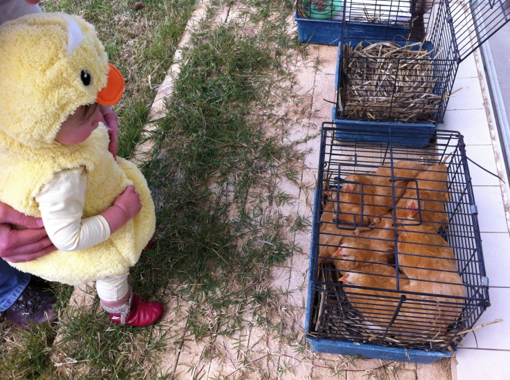 Arddun stares at chicken